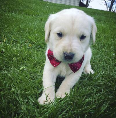 Labrador puppies for sale ready in june